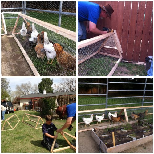How To Make A Chicken Tunnel  Homestead  Survival