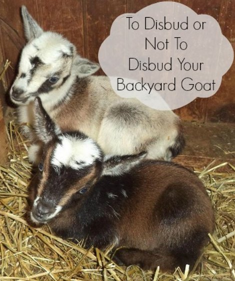 The Disbudding Goats Question To Disbud Or Not To Disbud