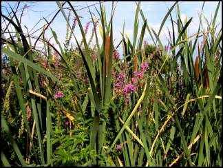 Purple Loosestrife (Lythrum salicaria) amidst cat-tails