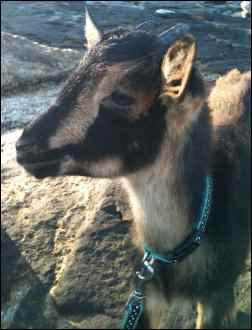Sandy the housegoat