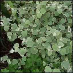 licorice, medicinal herbs, homesteading