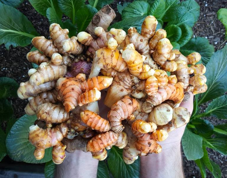 Two hands, hovering over a garden bed, holding as much homegrown turmeric as they can. Turmeric is a superfood that can be grown in many home gardens, and is an optional ingredient in Fire Cider.
