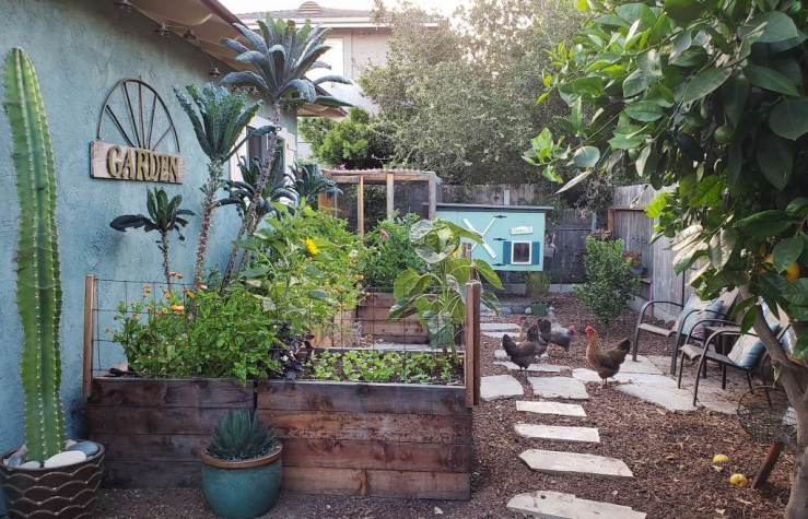 Two foot tall redwood raised garden beds, close to the outside wall of a blue house. The garden is facing south, so it gets good radiant heat from the house. The backyard chickens are roaming nearby. A small fence around the garden beds keeps them out. The blue and green chicken coop is in the background.