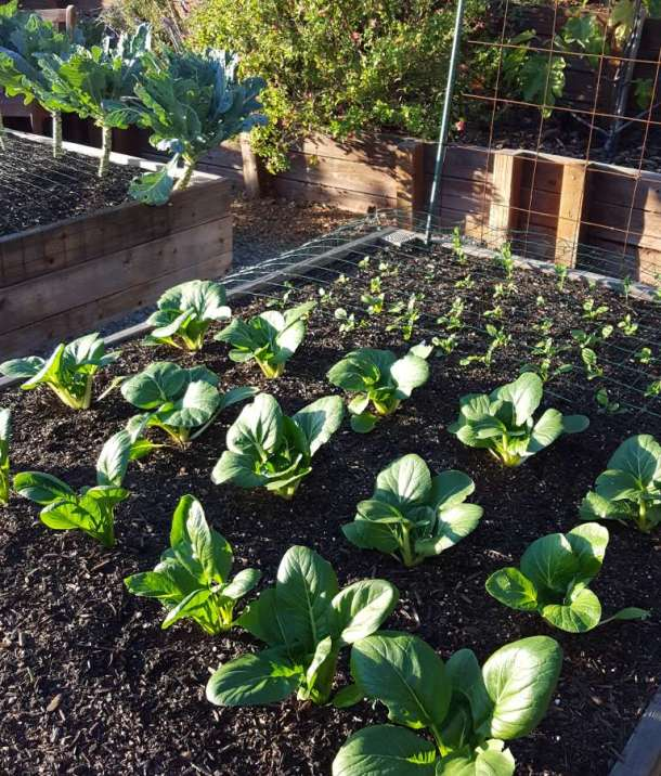 A garden bed full of small plants at varying ages. The larger plants, boo choy and mustard greens, are big enough to no longer need protective netting. The smaller seedlings and sprouts are covered by netting to keep the birds away.