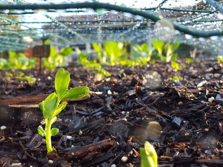 A close up of tender pea shoots sprouting in a garden bed, covered by green wire fencing and black mesh bird netting, to protect the seedlings from pests and damage.