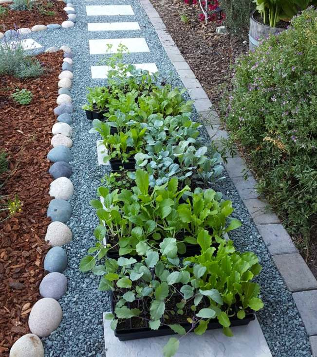 Six large trays full of small green seedlings are sitting outside on a gravel pathway in a garden. They are in the shade, just starting out their hardening off process.