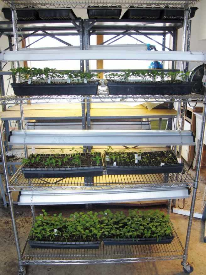 An indoor seed starting set. A shelving unit with many fluorescent grow lights hanging above trays of young seedlings.