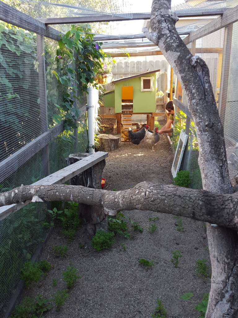 A view inside the chicken run. In the distance, you can see the chicken coop and door out to the yard. Aaron is in the run with the four chickens. At this far end of the run, a branching tree provides places for the chickens to roost.