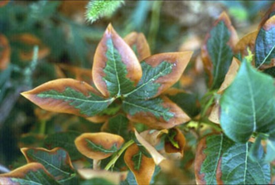 A close up of leaves with a discolored brown and yellow tinge around the edges of their leaves, likely caused from too much nitrogen fertilizer.