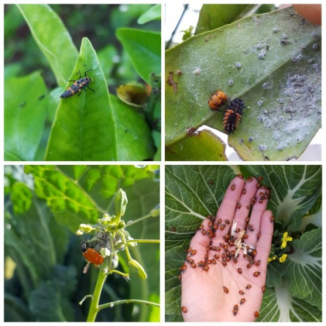 Four images of lady beetles at different stages of life. The top two images are a close up of their larval form, which look long and slender with orange and black bumps, but not like a true beetle yet. Then bottom two images are of a more classic ladybug. One is on a kale plant eating aphids, and the other shows a hand holding dozens of ladybugs, being released into the garden.