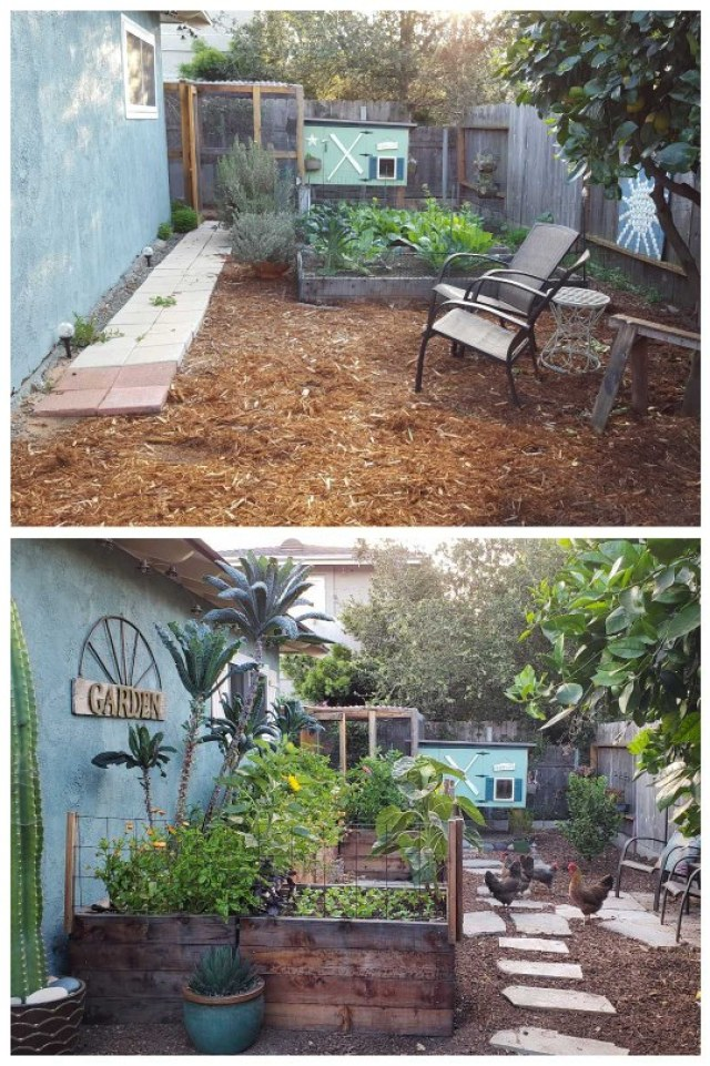 """The top photo shows our original """"coop garden"""" - too close to the fence, and shaded in the winter. The bottom shows the space once we renovated and re-located the raised beds. They're now in an ideal location,  along a south-facing wall, which maximizes sun exposure and also takes advantage of radiant heat! A chicken coop is the background in both images. In the """"after"""" photo, the raised beds are much taller than the old ones, and have super tall kale trees and other flowers growing in them. The chickens are running around outside garden."""