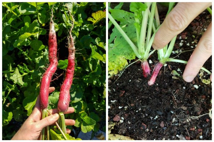 On the left, radishes that were properly spaced and thinned. They are over 6 inches long each! On the right, ones that were not thinned or spaced well. It shows two little tiny, skinny stubs of radishes right next to each other that clearly didn't grow well. These were all planted in the same bed at the same time, and the two photos were taken the same day.