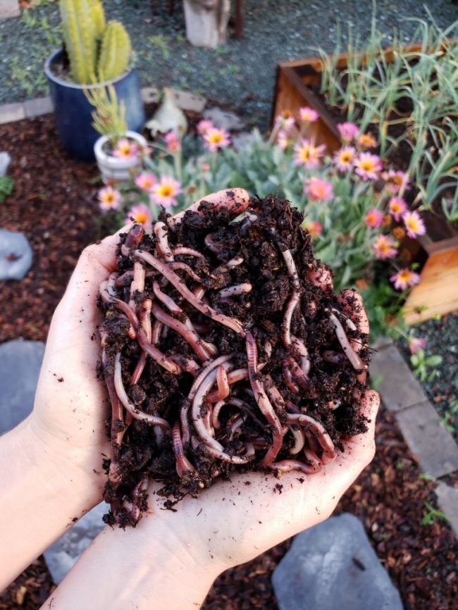 Two hands held together, cupping a large pile of european nightcrawler earth worms. The hands are poised over a garden space
