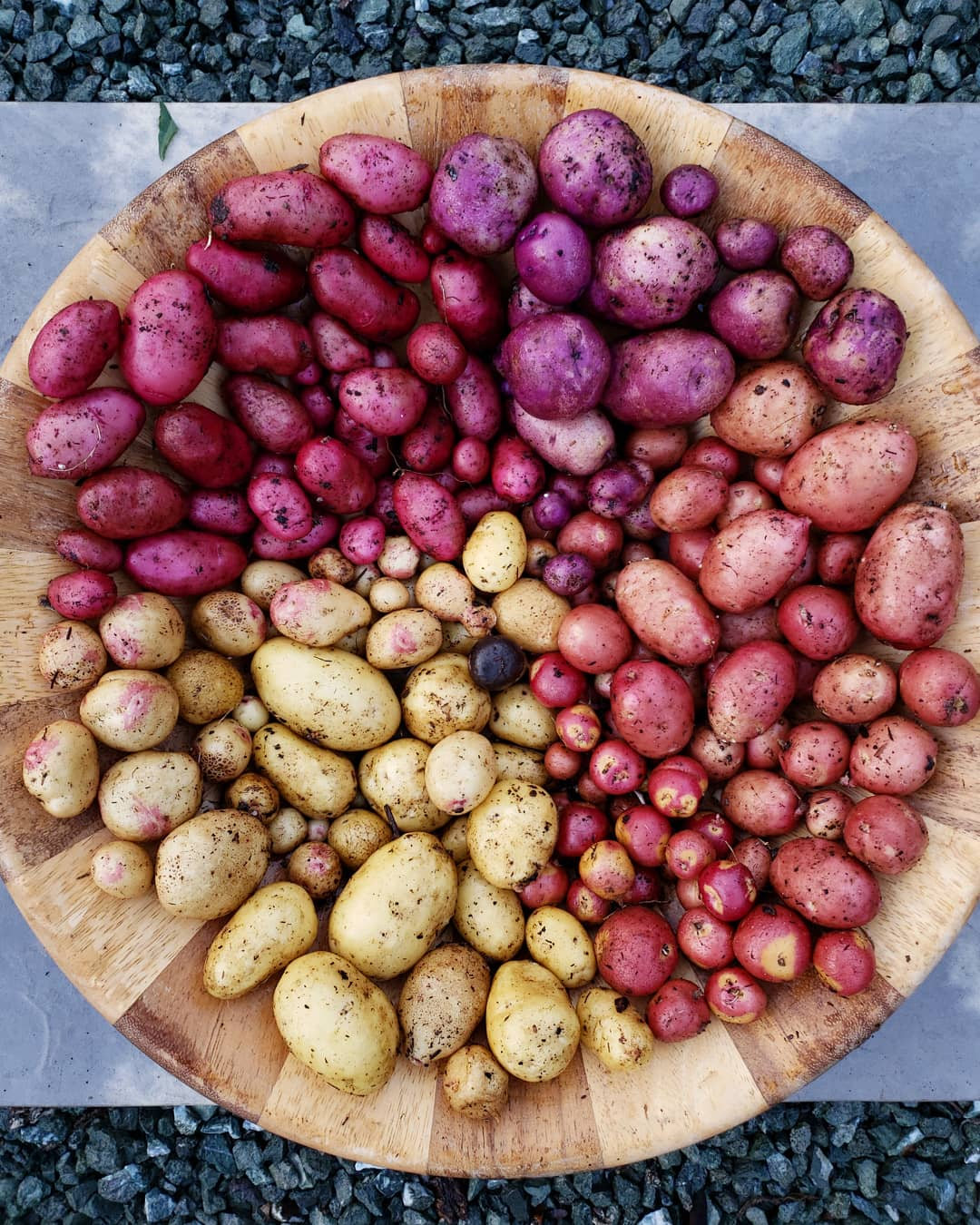 A large wooden bowl full of colorful potatoes. Some are purple, red, yellow with pink spots, and plain yellow. They are separated by color.