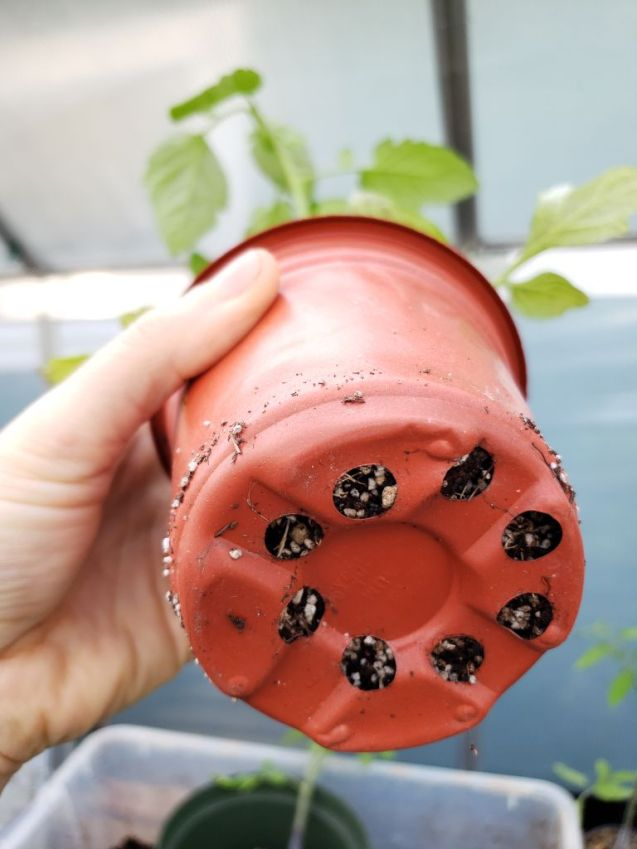 """A 4"""" nursery pot is being held up sideways so we can see the bottom of the pot. A few small fine roots are starting to stick through the bottom drainage holes of the pot."""