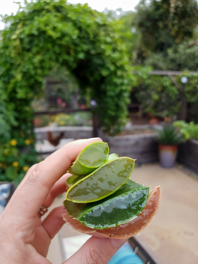 A hand holding four cut aloe leaves, showing the thick inner gel portion. The hand it holding up the leaves in front a garden space that is blurred int the background, with raised beds, a chicken, a large arch covered in full green vines, bright flowers, and colorful pottery.