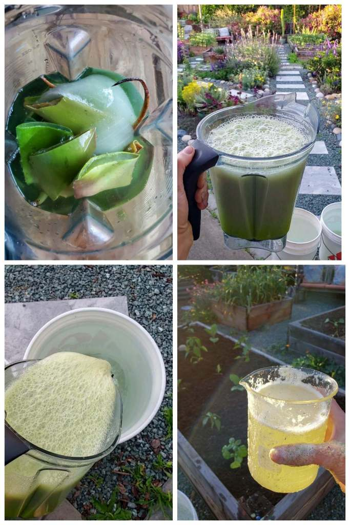 Four images showing aloe vera leaves being cut up, added to a blender with water, then the frothy blended solution being poured into a 5-gallon bucket of rainwater. The last image shows the final diluted solution in a beaker being held over a garden bed of small plants. It is bright yellow-green, glowing in a glass beaker in the sun.