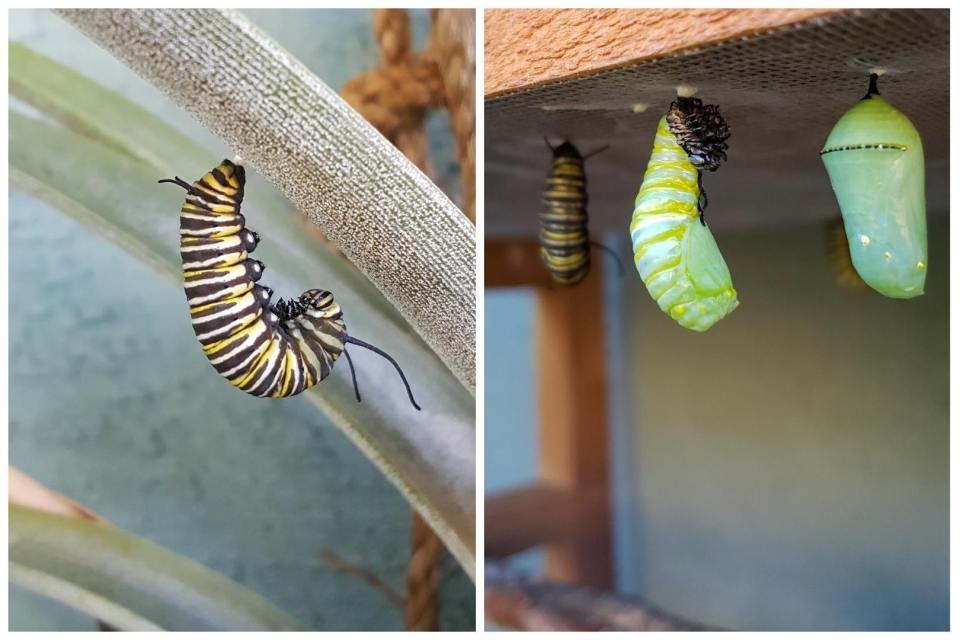 """Two images. One is a monarch caterpillar hanging upside down """"in J"""", by its hind end to a fuzzy leaf. The other image is after it has split its skin and is halfway changed to a chrysalis. It is partially lumpy and long like a caterpillar still, but is bright green like a chrysalis instead of striped black, white and yellow."""