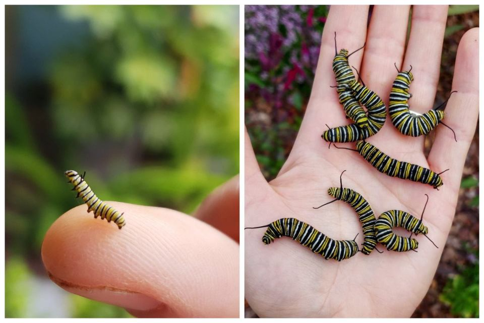 Two images, showing the size difference between a 2nd instar monarch and the 4th and 5th instar. The 2nd instar is so tiny, held on a finger tip, about a quarter inch long and skinny. The larger black, white, and yellow striped 4th and 5th instar caterpillars are in an open hand, but are an inch or two long and very fat.