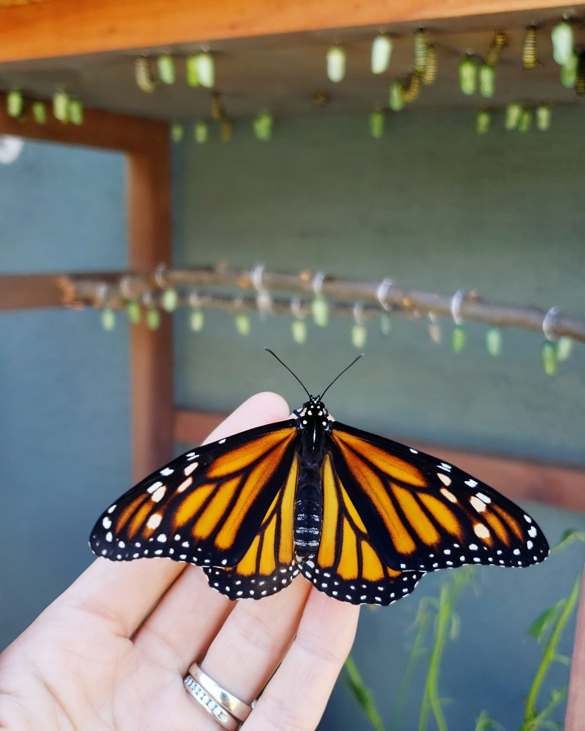 71ca3bb418b55 An image of a hand holding a female monarch butterfly in front of a monarch  rearing