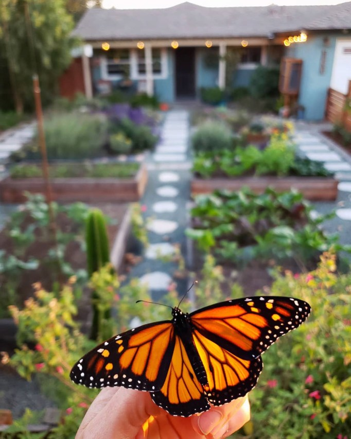A hand holding a male monarch butterfly in front a garden space, ready to be released. The garden has many raised beds, a lot of flowers, green/blue gravel between the beds, and stone pathways. A small blue house is in the distance, lit up with outdoor string lights. Sun is hitting the butterfly and illuminating it.