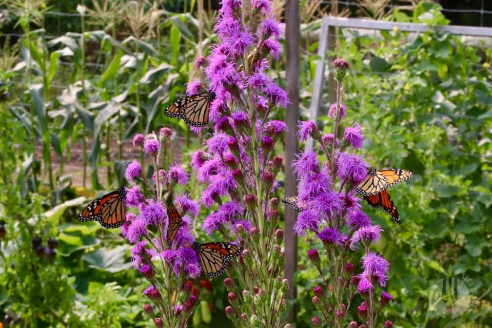 Purple fluffy flowers on tall spikes, with four monarch butterflies on it at once.