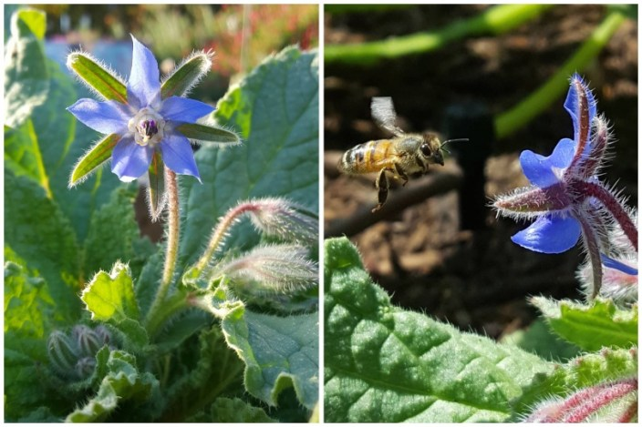 A purple start shaped borage flower, with a bee in flight, coming straight for it.