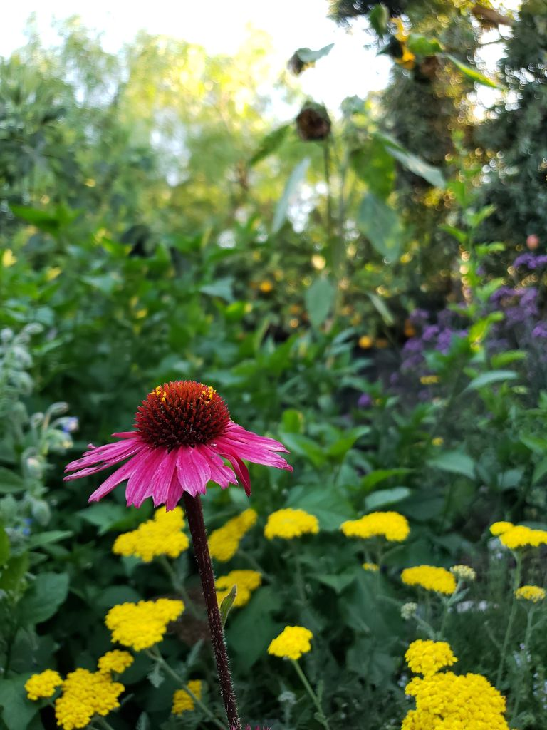 A single pink coneflower, with large spikey middle dome and down-ward pointing flower petals around it. Pollen is visible on the flower center. Blurred in the background are other flowers, also plants for pollinators.
