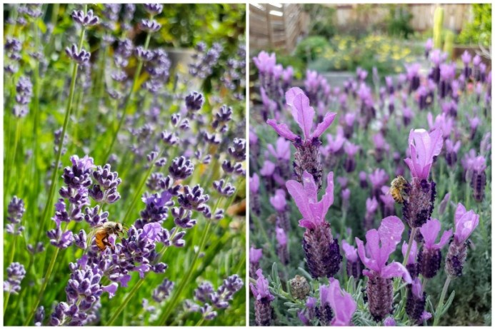 Two close up images of bees on blooming lavender