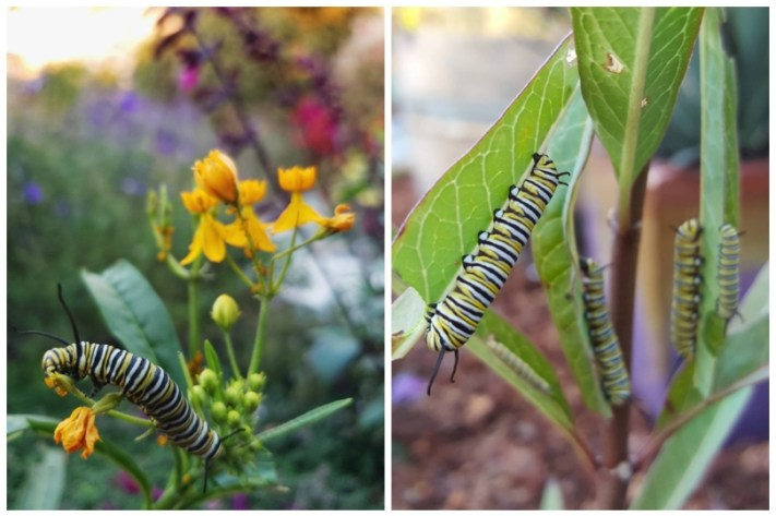 Two close up images of black, yellow and white striped monarch caterpillars on milkweed plants