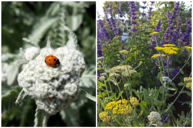 One image shows a ladybug sitting on a white fuzzy flower bloom, and the second shows those blooms opened and turned yellow.
