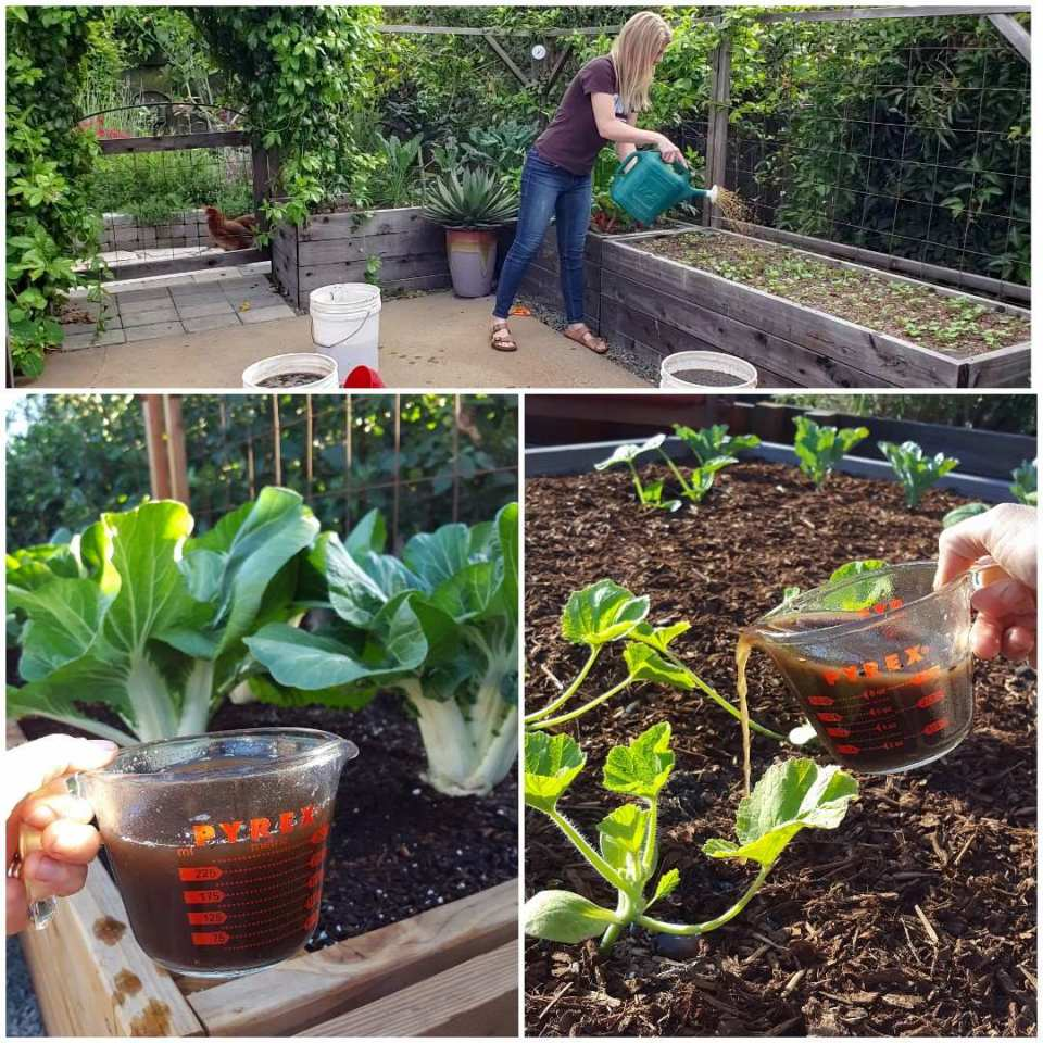 Three images in one. Two show a kitchen glass measuring up full of rich brown liquid, being poured onto the soil around the base of growing plants. One shows DeannaCat standing over raised garden bed, watering the bed with a standard watering can. The liquid coming out of the watering can is tinted brown.