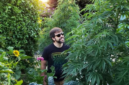 A man standing between tall cannabis plants, smiling up at them. They're still mostly in the vegetative state, leafy green and not yet full of buds. The sun in shining in the background, with a few sunflowers around too.