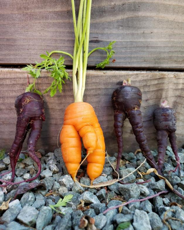 A close up of four carrots standing up, leaning against a wood raised bed. They all have two legs, like carrot people. Three of them are purple with two legs only. In the middle is an orange one with a longer third leg in the middle. The boy.