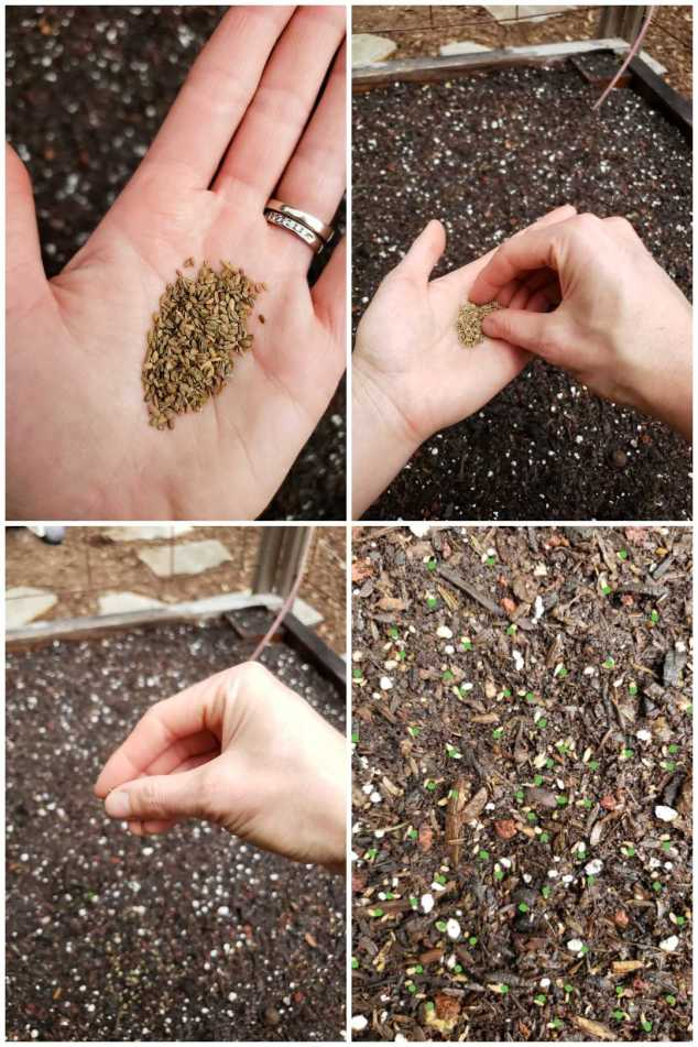 Four images. Close up of a hand holding carrot seeds in the palm, then pinching them, then sprinkling them over bare soil. The last photo is the soil surface, with little green dots on it to show where the seeds are. They aren't sown too thick or overlapping, but have plenty of them down.