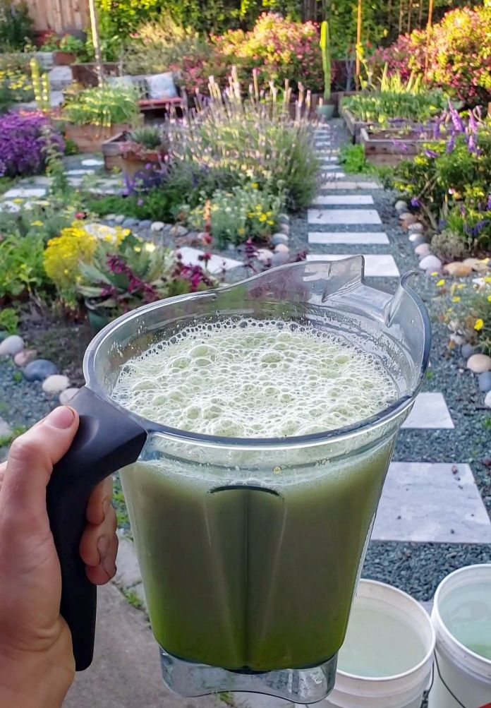 A Vitamix blender full of blended aloe vera leaves with water is being held outwards. Below the blender are two five gallon buckets full of rain water. Beyond the blended aloe is a garden full of flowering perennials, annuals, vegetables in raised garden beds, cacti, shrubs, vines, and trees. No-till gardening is the main method used on this property.