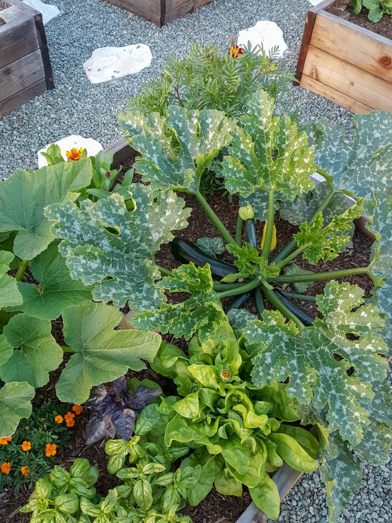 An image looking down on a raised bed full of plants. There is a large squash plant with variegated leaves and long dark green zucchini present. Also are orange calendula flowers, green and purple basil, another squash plant, and marigolds. A perfect example of companion planting for pest prevention.