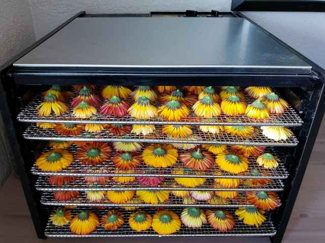 The stainless steel trays loaded with calendula now inside the dehydrator, ready to get dried.