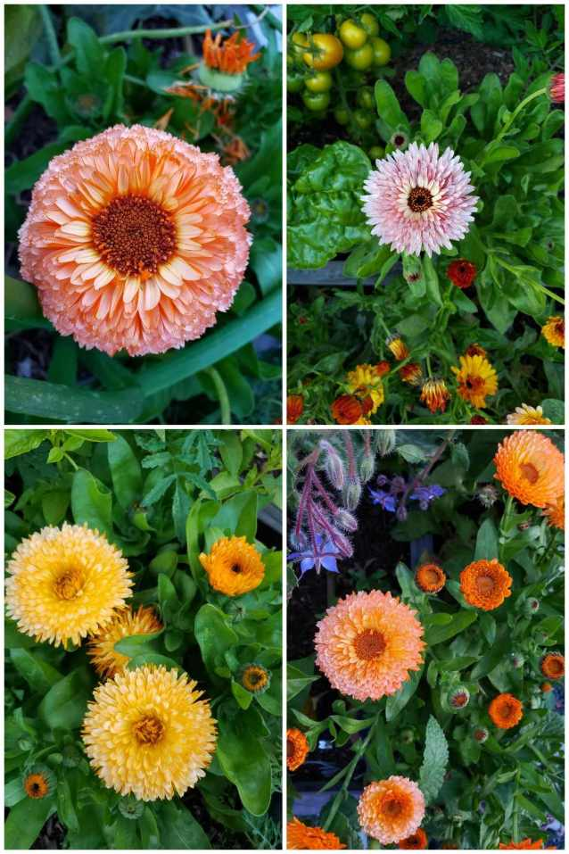 Four images of different types of calendula. Pink surprise is peachy-pink and has a large middle center. Apricot twist is light orange and more fluffy, with full petals. Strawberry blonde has a light yellow center with pink petals.