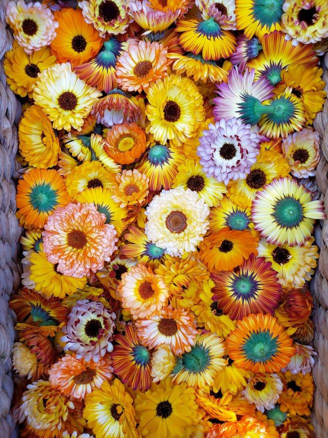 A wicker basket full of freshly harvested calendula flowers. They range in color from orange, to red, to pink, to yellow, and various shades of all of the colors mentioned.