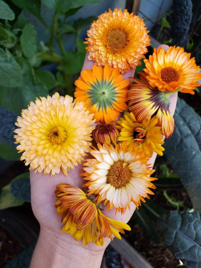 A close up of a hand holding about 8 calendula blooms of various sizes, petal structure and color. Some are bright orange, some are more light yellow, and some with pink tones. The hand is covering over a garden bed of kale and lettuce.