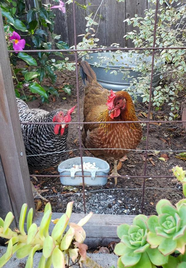 Two chickens, one black and white and one brown and orange, are standing in front of a wire fence. Attached to the wire fence is small metal bowl with hooks, full of crushed eggshells for calcium. Some are spilled on the dirt below too. Succulent plants frame the image in the foreground.