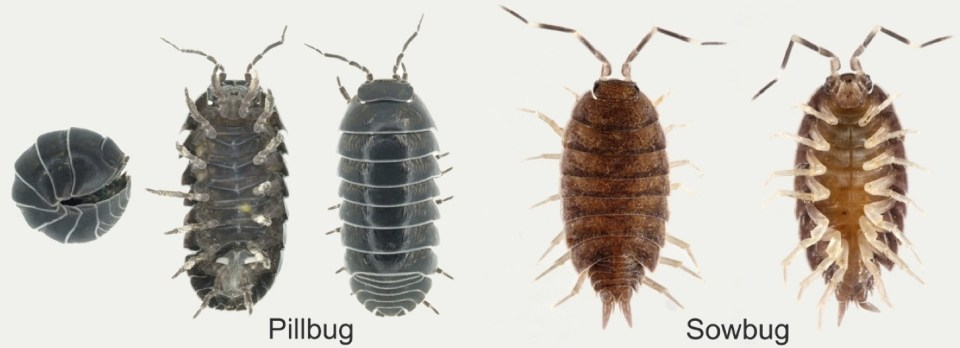 Pillbug and sowbug ID photos. Pillbugs are more black and round, sowbugs more brown and elogated