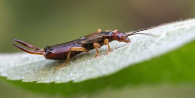 "Earwig or ""pincher bug""."