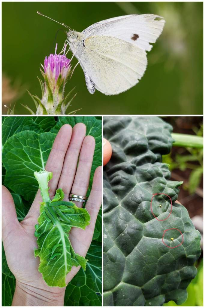 A handful of green cabbage worms on a damaged collard green leaf, and the adult white butterfly. Cabbage moths and worms are very common garden pests