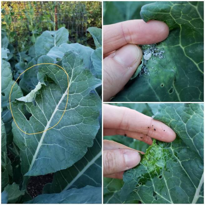 Three images showing aphids hiding inside the curl of a collard green leaf, and a hand squishing and removing them. It is important to look under and between leaves for garden pests