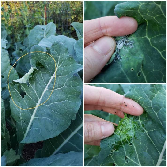 A three way image collage, the first image shows a broccoli leaf from afar, an edge of the leaf is curled over unlike the rest of the leaf. There is a photoshopped circle that has been drawn around this portion of leaf to point out the curl. In the background are various broccoli and cauliflower plant leaves. The second image shows an index finer and thumb opening the curled leaf to show the aphids that were hidden below the curled leaf. The aphids are grey in color and there is a decent cluster on a discolored portion of the curled leaf. The third image shows the curled portion of leaf after they have been smushed and sprayed off to remove them from the plant. The leaf is free of pests and now looks to be in better condition. Squishing and removing is a great way to get rid of aphids.