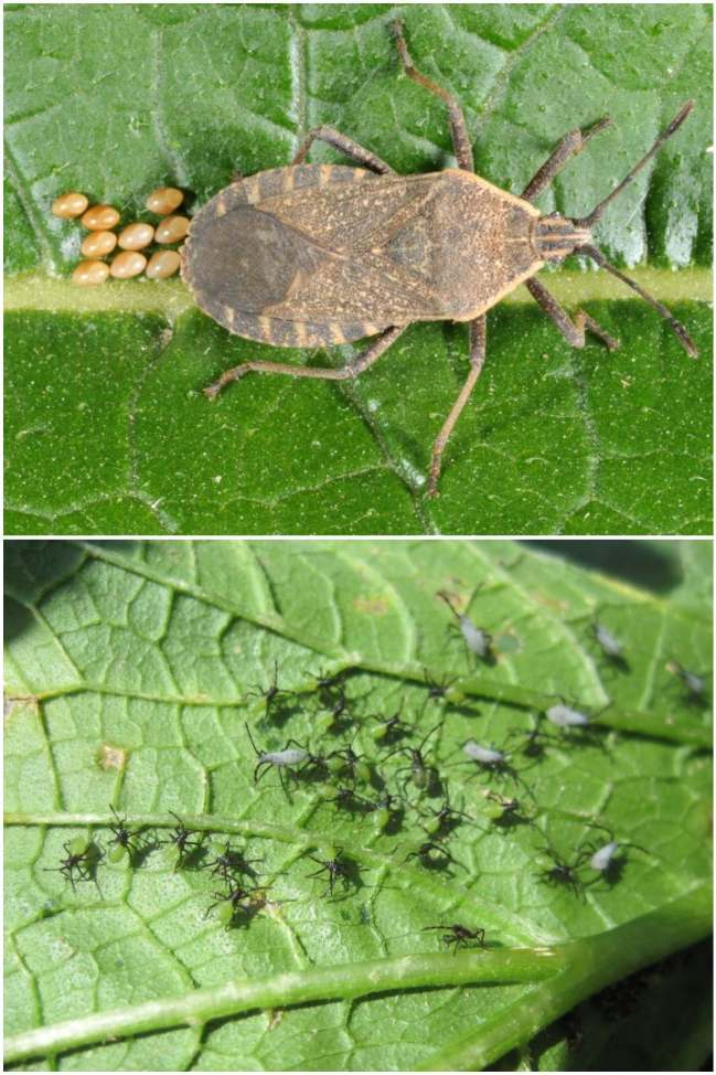 """A two way image collage, the first image shows an adult squash bug with eggs coming out the backside of the insect. The bug is brownish black and looks similar to a """"stink"""" bug. The second image shows young squash bugs after they have emerged from eggs. Some are black and a few are larger and slightly gray in color. They are on the underside of a squash leaf that has some damage already with brownish yellow holes in the leaves."""