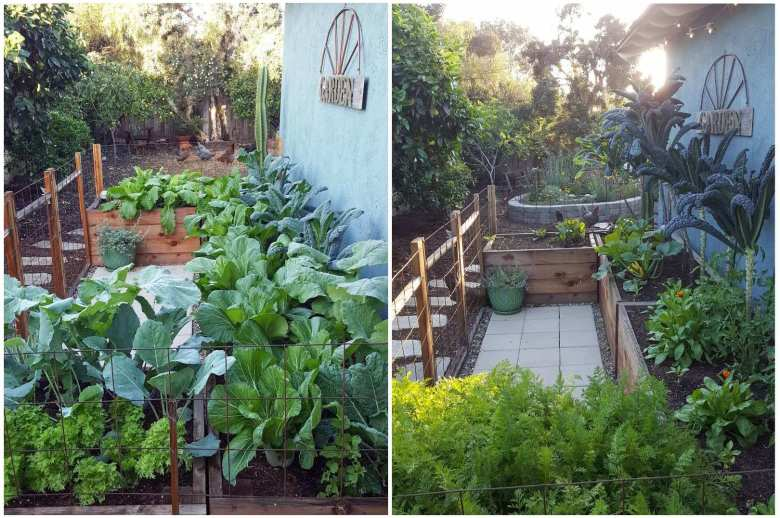 A two way image collage, the first iage shows a u shaped garden bed that butts up against the side of a house. The garden beds are overflowing with various greens such as kale, bok choy, mustard greens and kohlrabi. In the background behind the garden beds there are chickens picking in the grass and various trees and shrubs lining the fence line. There is a tall cactus protruding out from behind one of the beds. The second image shows the same garden bed but there are different plants planted in the beds, they are more sparse with taller kale trees closest to the house with smaller squash and calendula plants in front of them. The nearest section of bed has the greens from carrots showing from the bottom of the image,