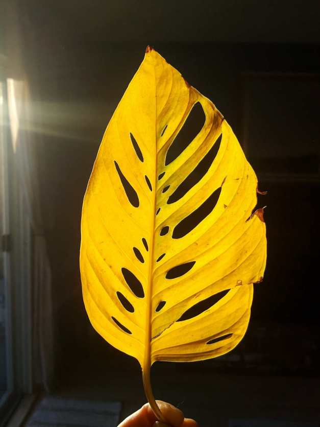 A photo of a yellow leaf from a plant with sun rays gleaming in the background.